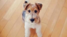 Fox Terrier Wallpaper