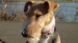 Fox Terrier Wallpaper Download