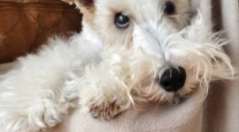 Fox Terrier Wallpaper For IPhone