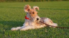 Fox Terrier Wallpaper Free
