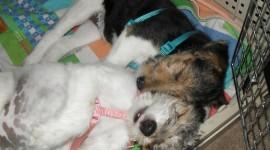 Fox Terrier Wallpaper Gallery