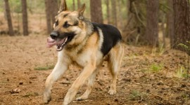 German Shepherd Wallpaper Gallery