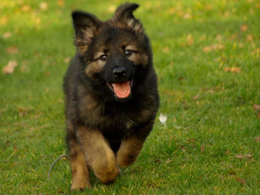 german shepherd wallpapers high quality download free