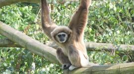 Gibbon Best Wallpaper