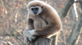 Gibbon Wallpaper