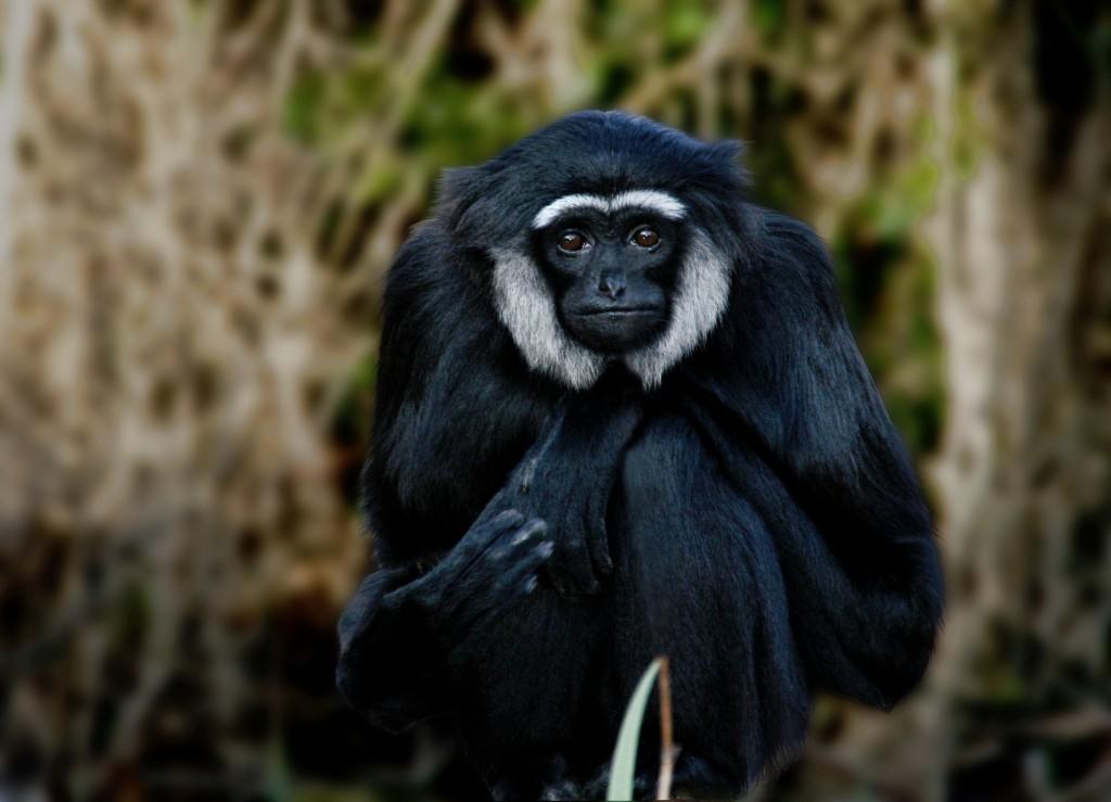 Gibbon wallpapers HD