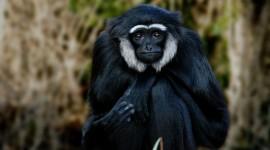 Gibbon Wallpaper Download