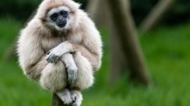 Gibbon Wallpaper Download Free