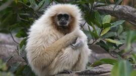 Gibbon Wallpaper For Desktop