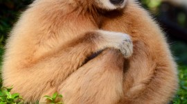 Gibbon Wallpaper For IPhone