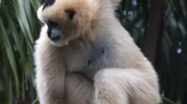 Gibbon Wallpaper For IPhone 6
