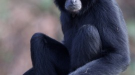 Gibbon Wallpaper For IPhone Free