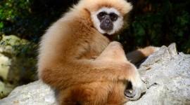 Gibbon Wallpaper For PC