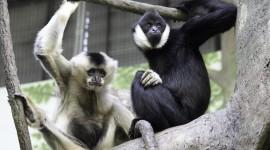 Gibbon Wallpaper Free