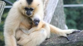 Gibbon Wallpaper Full HD
