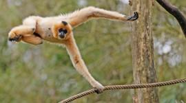 Gibbon Wallpaper Widescreen
