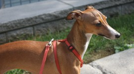 Greyhound Photo Free