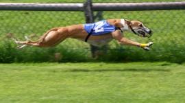 Greyhound Wallpaper 1080p