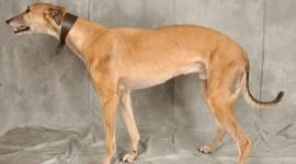 Greyhound Wallpaper Free