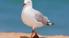 Gulls Best Wallpaper