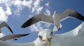 Gulls Desktop Wallpaper For PC