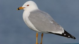 Gulls Wallpaper Gallery