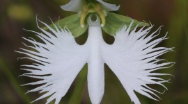 Habenaria Radiata Photo