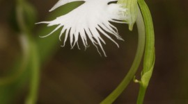 Habenaria Radiata Wallpaper For IPhone