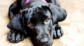 Labrador Retriever Desktop Wallpaper