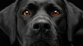 Labrador Retriever Photo