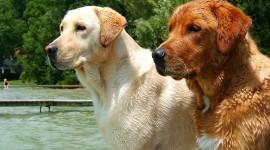Labrador Retriever Photo Free#1