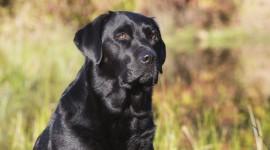 Labrador Retriever Photo Free#2