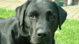 Labrador Retriever Photo Free#3
