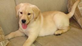 Labrador Retriever Photo#2