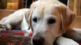 Labrador Retriever Photo#3