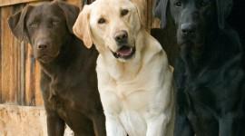 Labrador Retriever Wallpaper 1080p