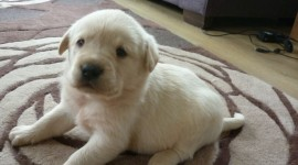 Labrador Retriever Wallpaper Download