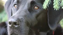 Labrador Retriever Wallpaper For IPhone