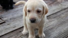 Labrador Retriever Wallpaper For PC#2