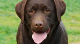 Labrador Retriever Wallpaper Full HD