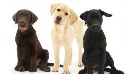 Labrador Retriever Wallpaper HQ