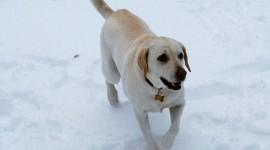 Labrador Retriever Wallpaper#1