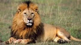 Lion Best Wallpaper