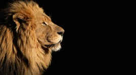 Lion Desktop Wallpaper For PC
