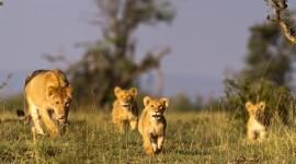 Lion Desktop Wallpaper Free