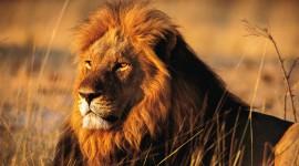 Lion Wallpaper For Desktop