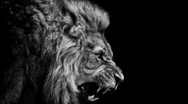 Lion Wallpaper HQ