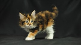 Maine Coon Cat Best Wallpaper