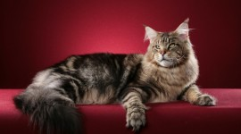 Maine Coon Cat Desktop Wallpaper