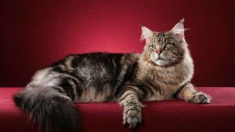 Maine Coon Cat wallpapers high quality